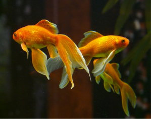 Image 3 goldfishes
